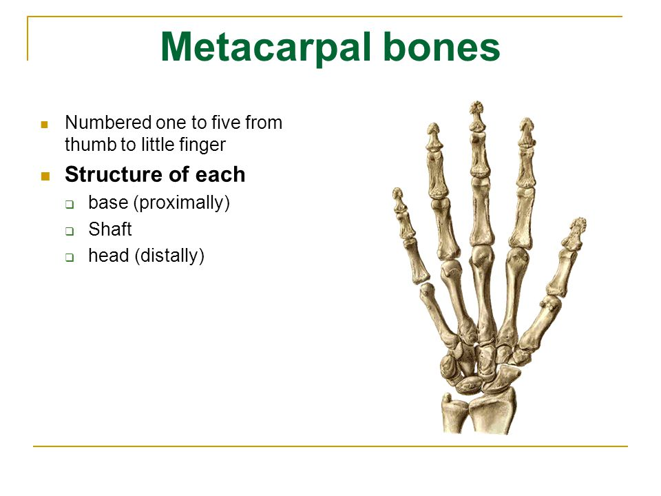 Metacarpal bones Structure of each