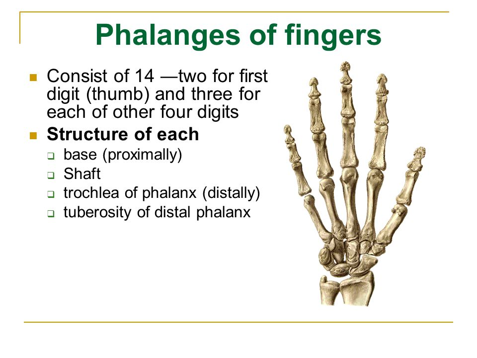 Phalanges of fingers Consist of 14 ―two for first digit (thumb) and three for each of other four digits.