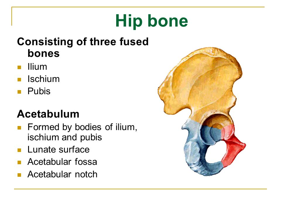 Hip bone Consisting of three fused bones Acetabulum Ilium Ischium