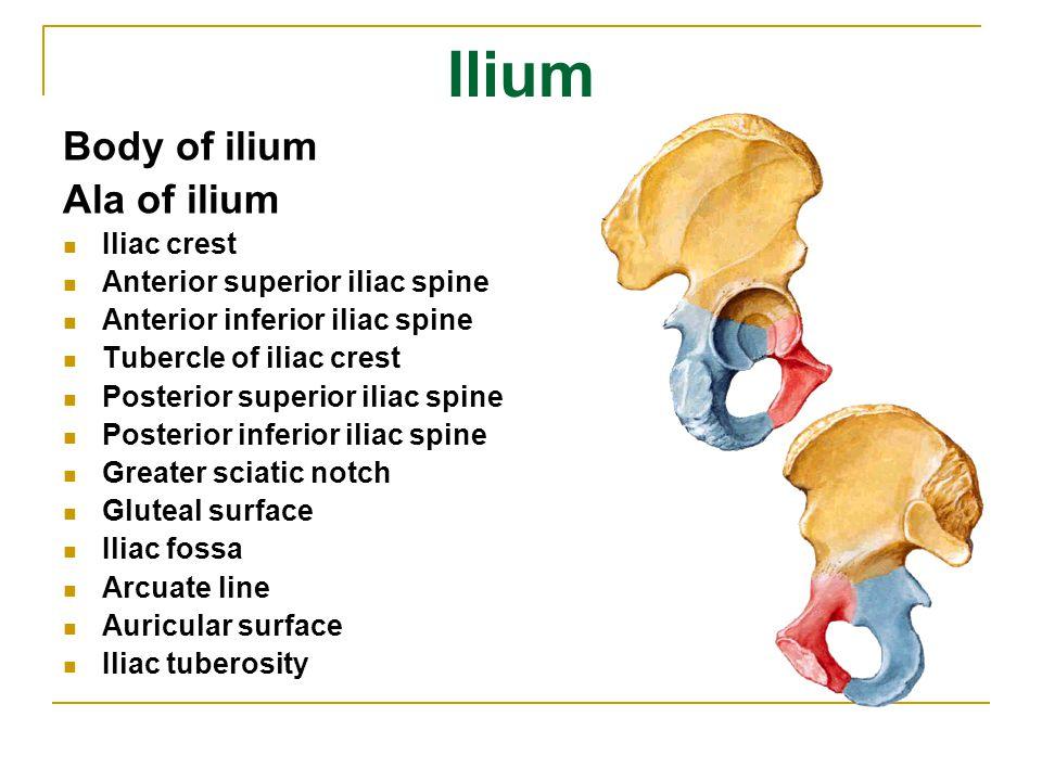 Ilium Body of ilium Ala of ilium Iliac crest