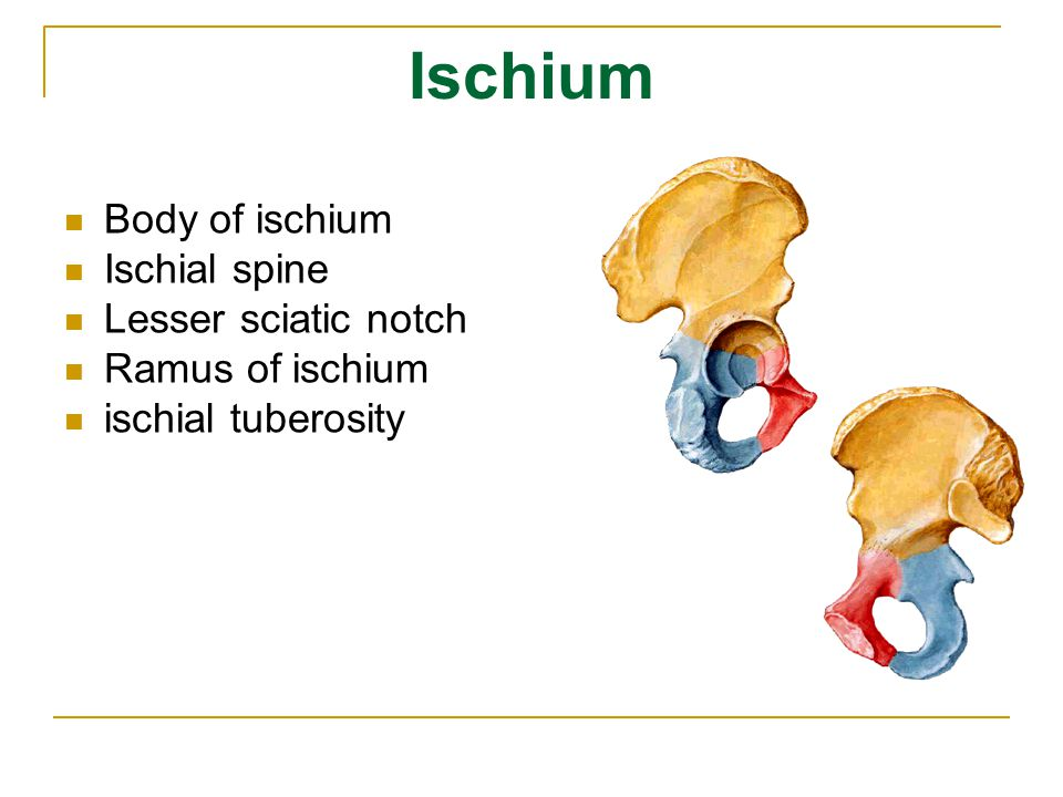 Ischium Body of ischium Ischial spine Lesser sciatic notch