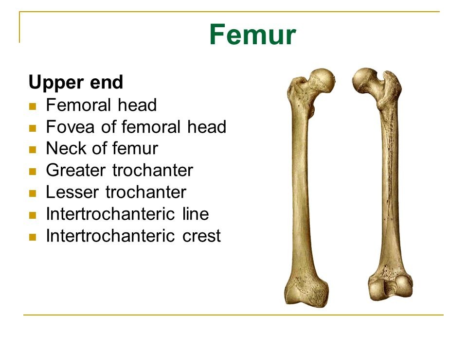 Femur Upper end Femoral head Fovea of femoral head Neck of femur
