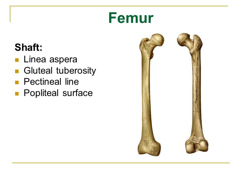 Femur Shaft: Linea aspera Gluteal tuberosity Pectineal line