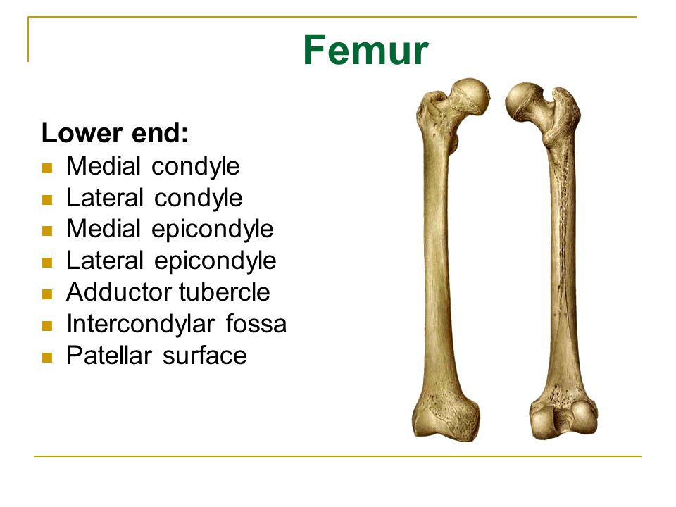 Femur Lower end: Medial condyle Lateral condyle Medial epicondyle