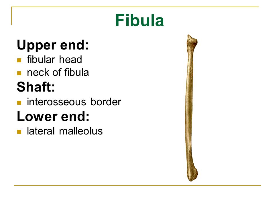 Fibula Upper end: Shaft: Lower end: fibular head neck of fibula