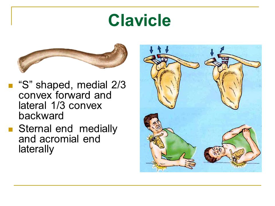 Clavicle S shaped, medial 2/3 convex forward and lateral 1/3 convex backward.