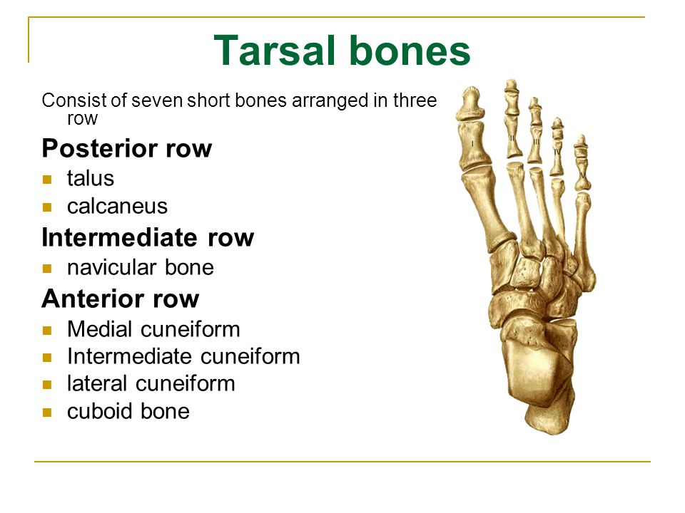Tarsal bones Posterior row Intermediate row Anterior row talus