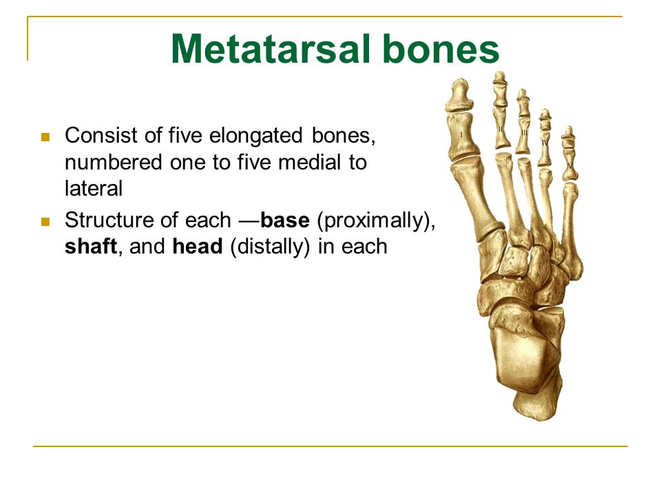 Metatarsal bones Consist of five elongated bones, numbered one to five medial to lateral.