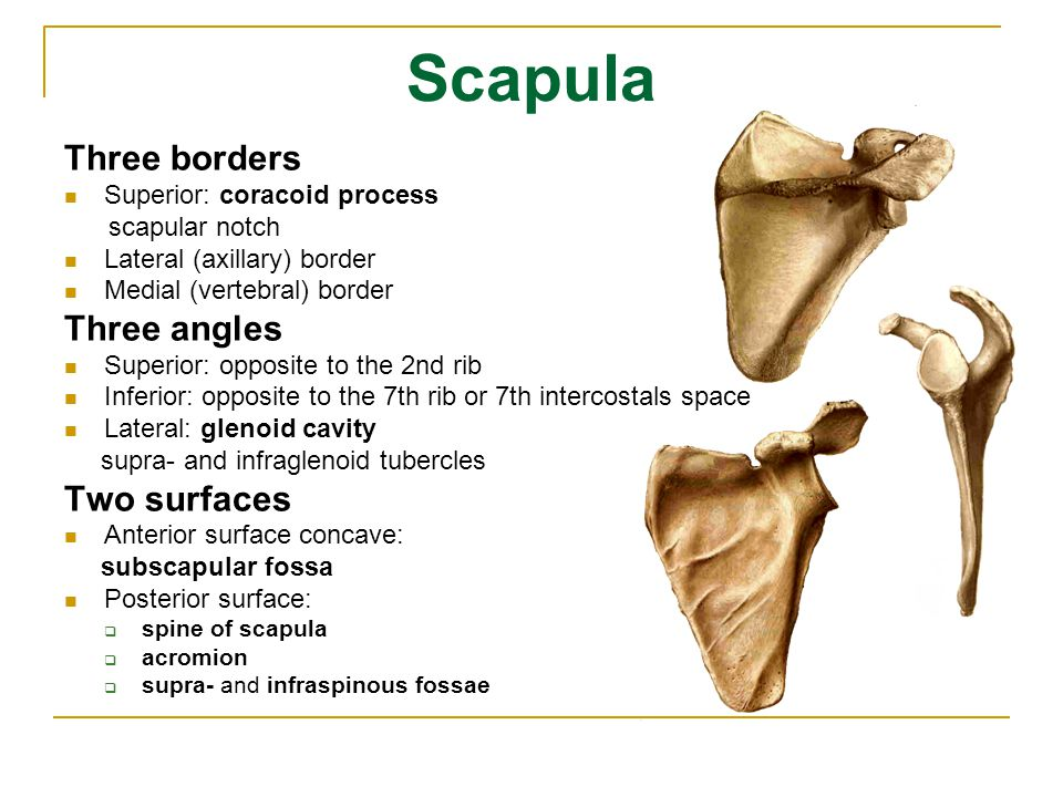 Scapula Three borders Three angles Two surfaces