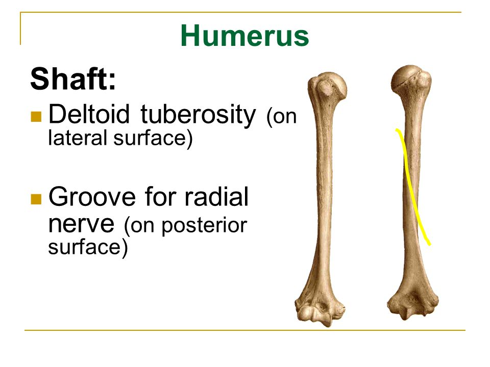Shaft: Humerus Deltoid tuberosity (on lateral surface)