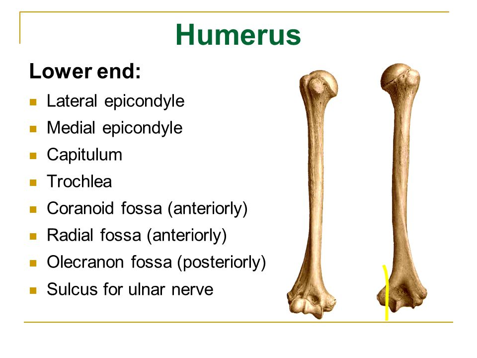 Humerus Lower end: Lateral epicondyle Medial epicondyle Capitulum