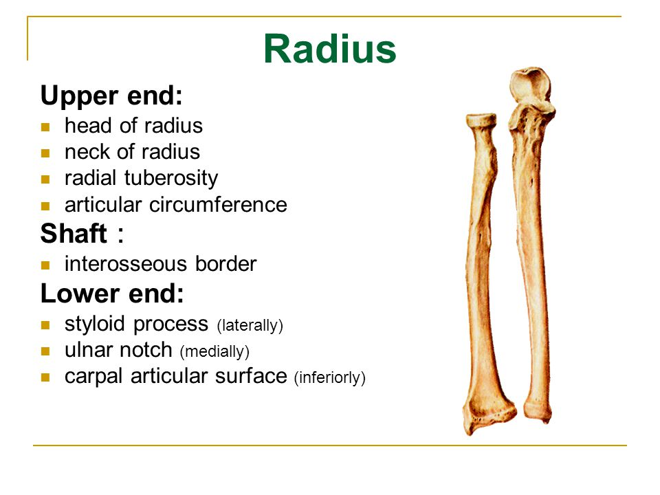 Radius Upper end: Shaft: Lower end: head of radius neck of radius