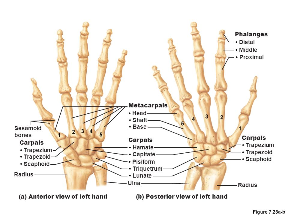 (b) Posterior view of left hand Ulna • Base • Shaft • Head