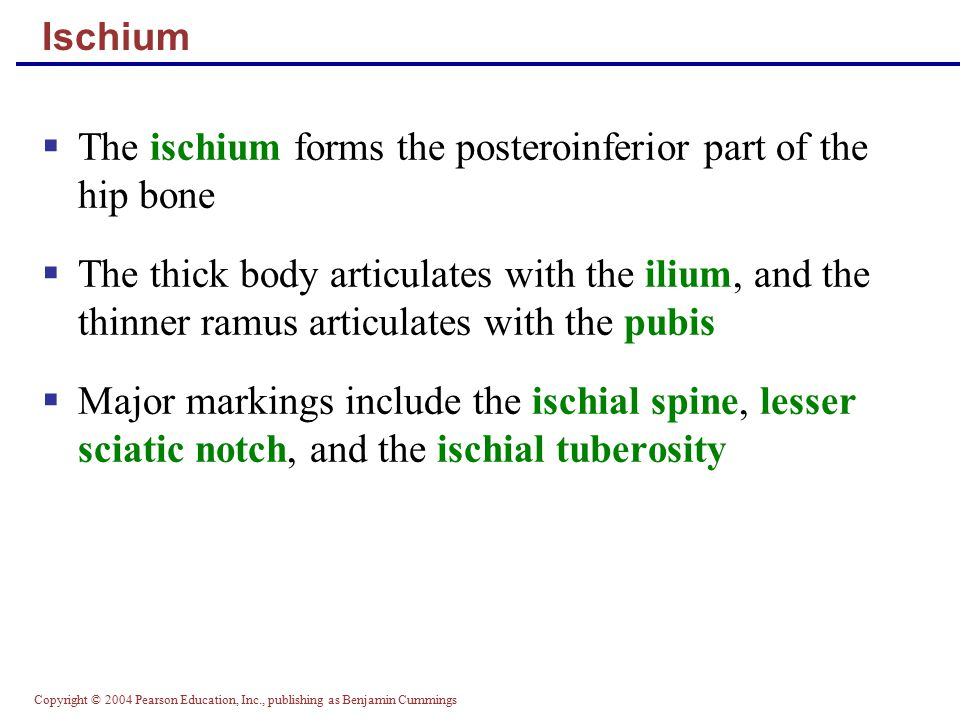 The ischium forms the posteroinferior part of the hip bone