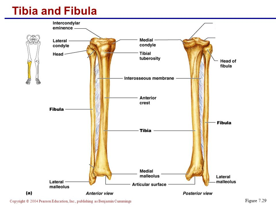 Tibia and Fibula Figure 7.29