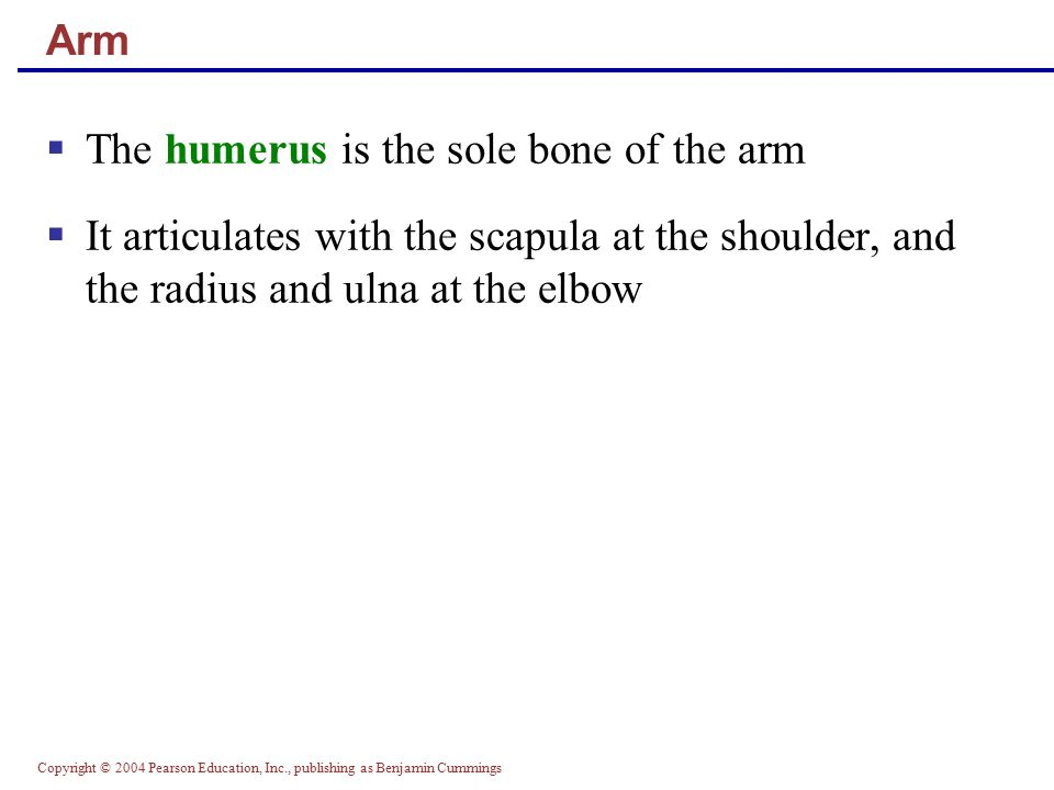 The humerus is the sole bone of the arm
