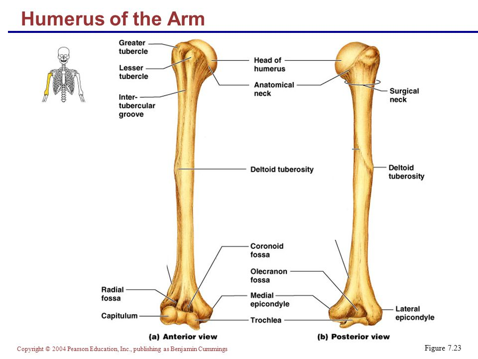 Humerus of the Arm Figure 7.23