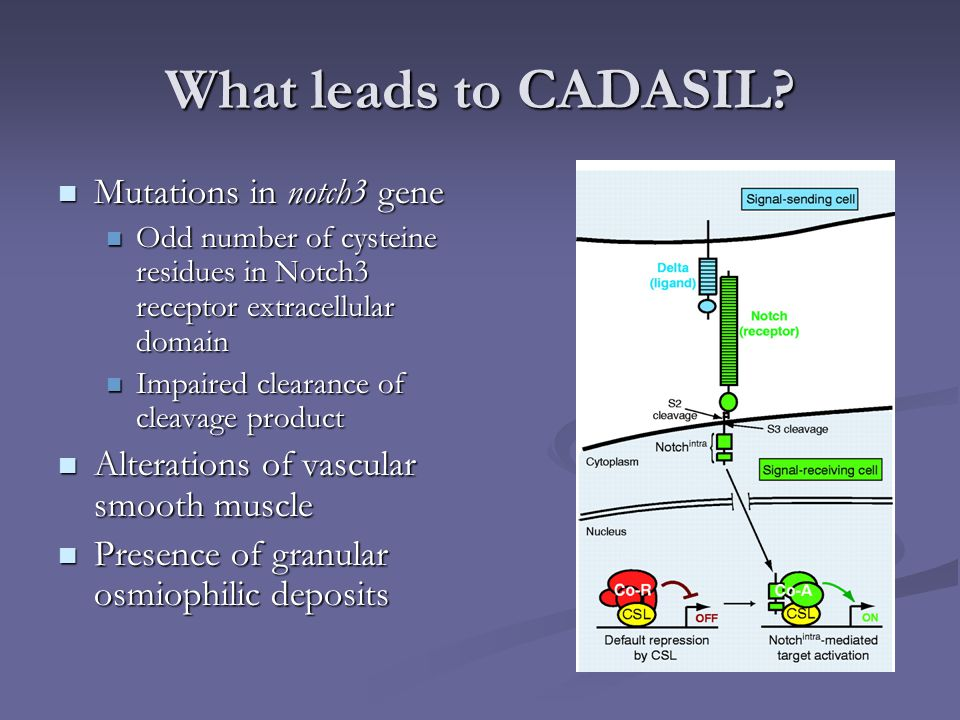 What leads to CADASIL Mutations in notch3 gene