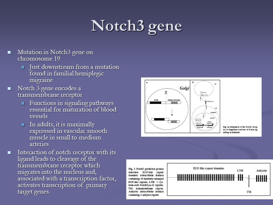 Notch3 gene Mutation in Notch3 gene on chromosome 19