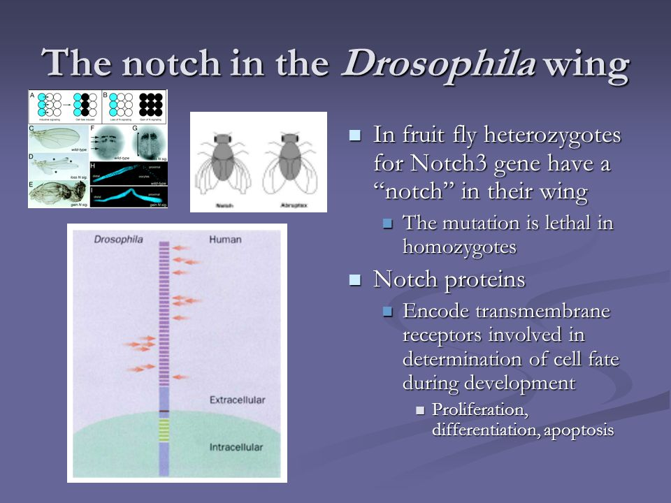 The notch in the Drosophila wing
