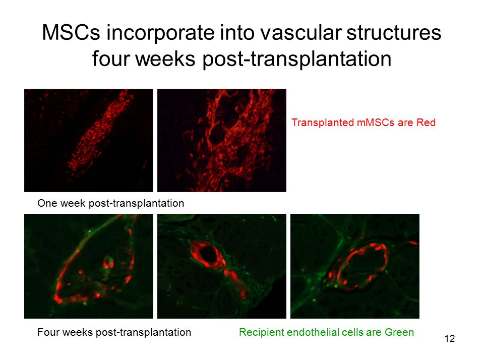 MSCs incorporate into vascular structures four weeks post-transplantation