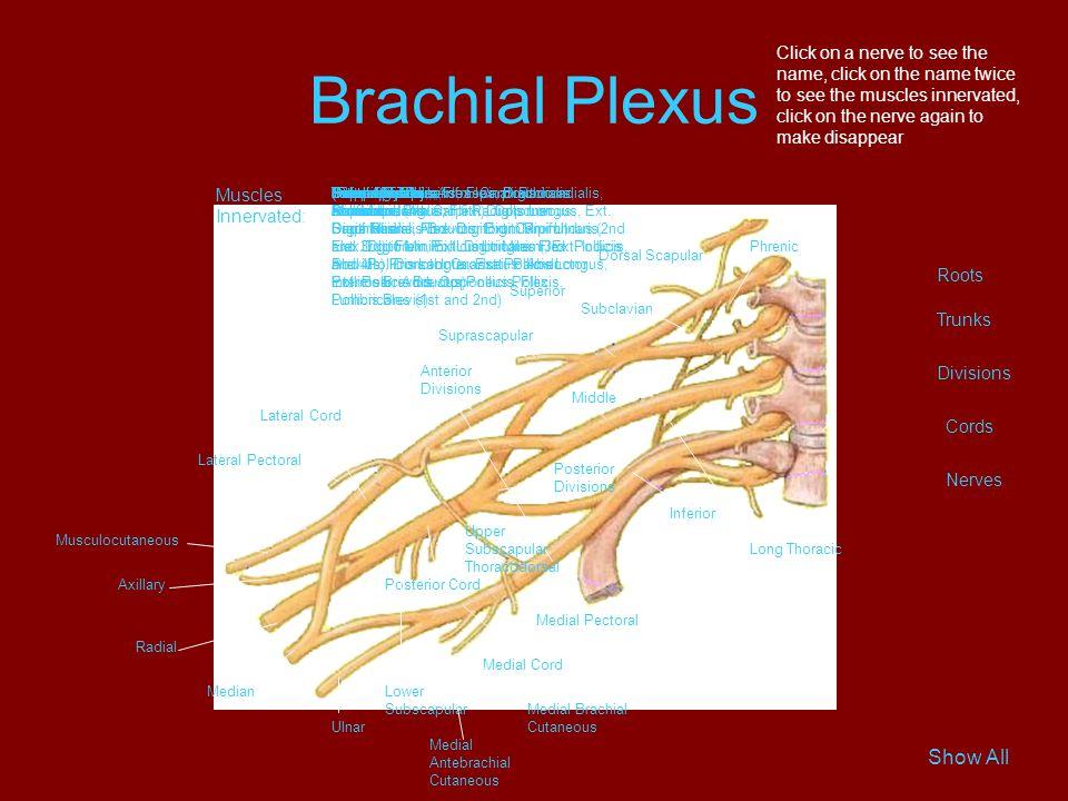 Brachial Plexus Show All
