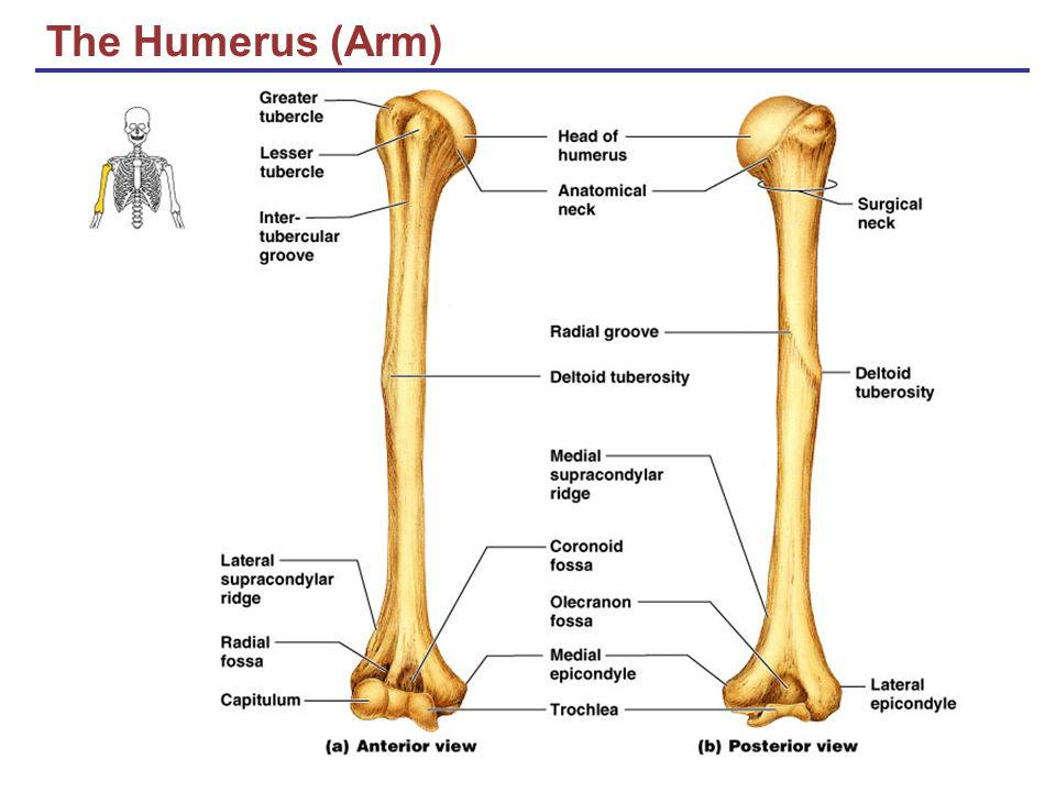 The Humerus (Arm)