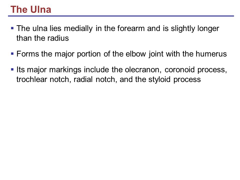 The Ulna The ulna lies medially in the forearm and is slightly longer than the radius. Forms the major portion of the elbow joint with the humerus.