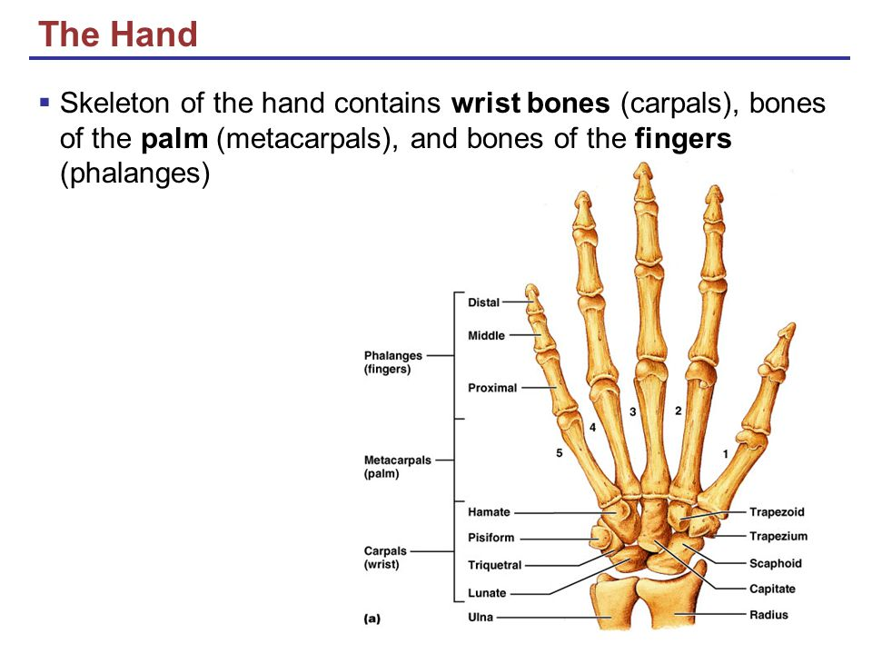 The Hand Skeleton of the hand contains wrist bones (carpals), bones of the palm (metacarpals), and bones of the fingers (phalanges)