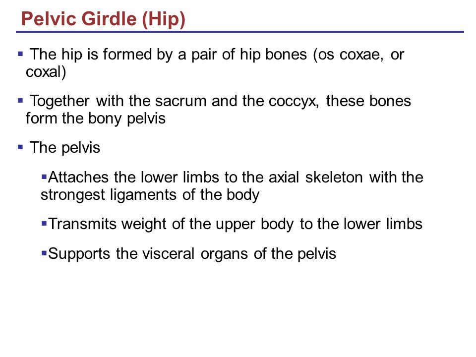 Pelvic Girdle (Hip) The hip is formed by a pair of hip bones (os coxae, or coxal)
