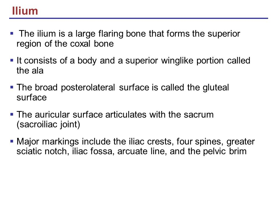 Ilium The ilium is a large flaring bone that forms the superior region of the coxal bone.