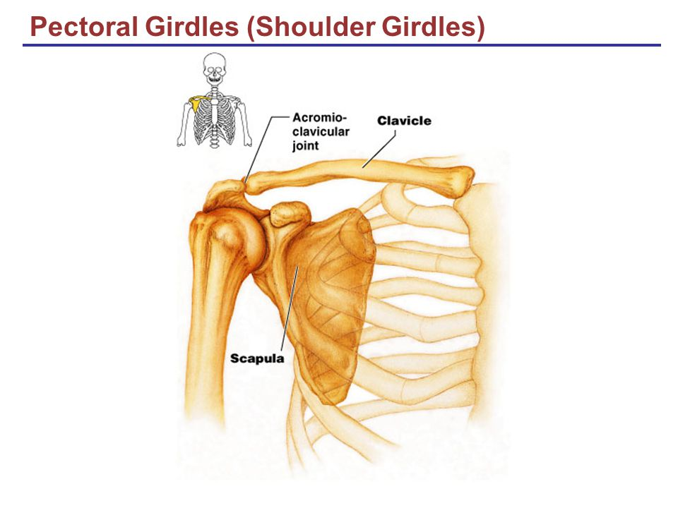 Pectoral Girdles (Shoulder Girdles)