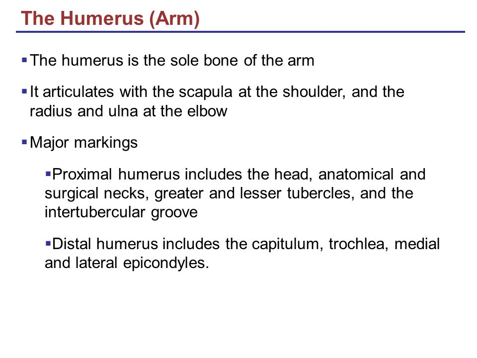 The Humerus (Arm) The humerus is the sole bone of the arm