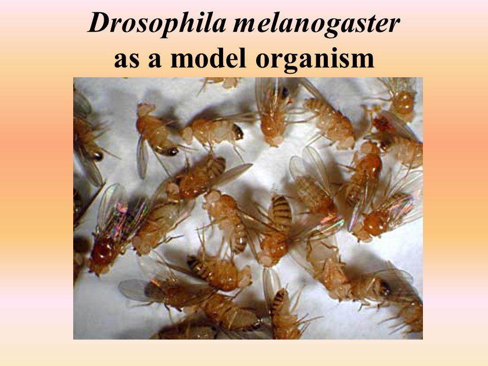 Drosophila melanogaster as a model organism
