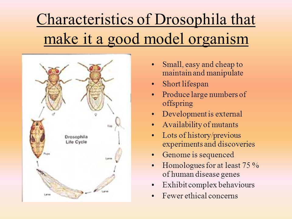 Characteristics of Drosophila that make it a good model organism