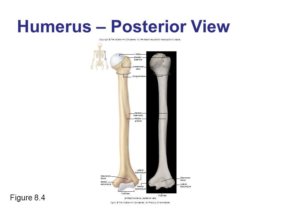 Humerus – Posterior View