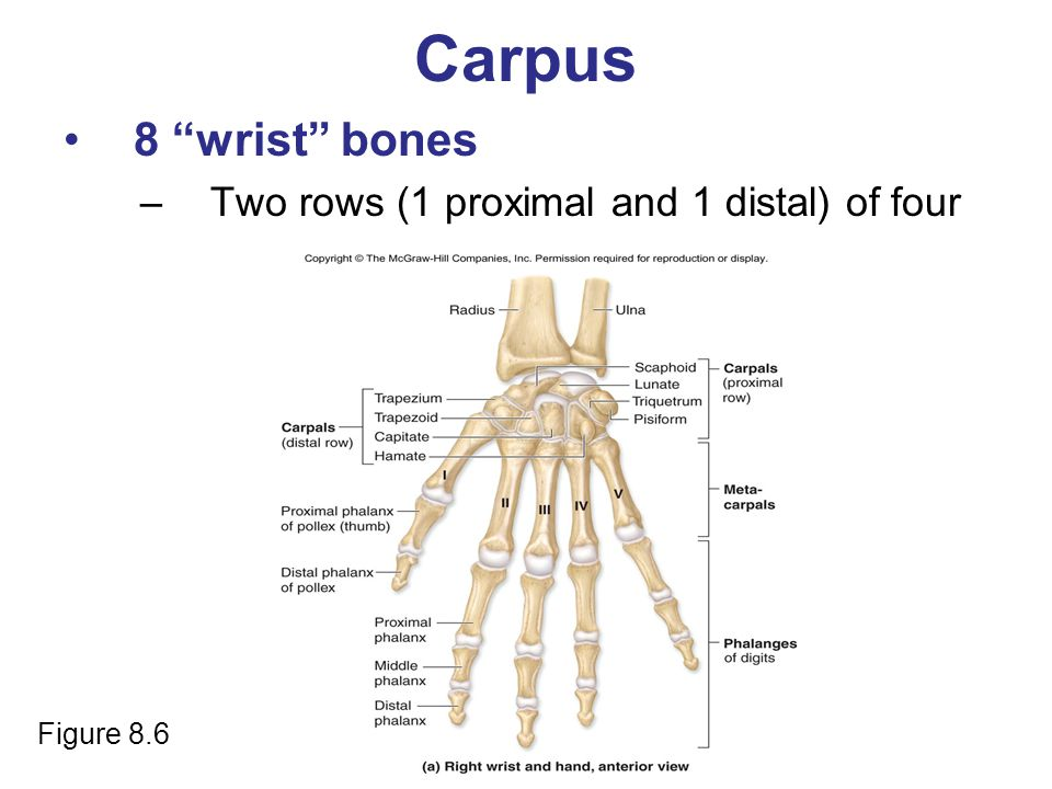 Carpus 8 wrist bones Two rows (1 proximal and 1 distal) of four