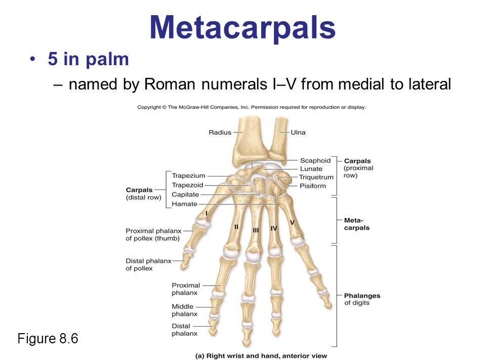 Metacarpals 5 in palm named by Roman numerals I–V from medial to lateral Figure 8.6
