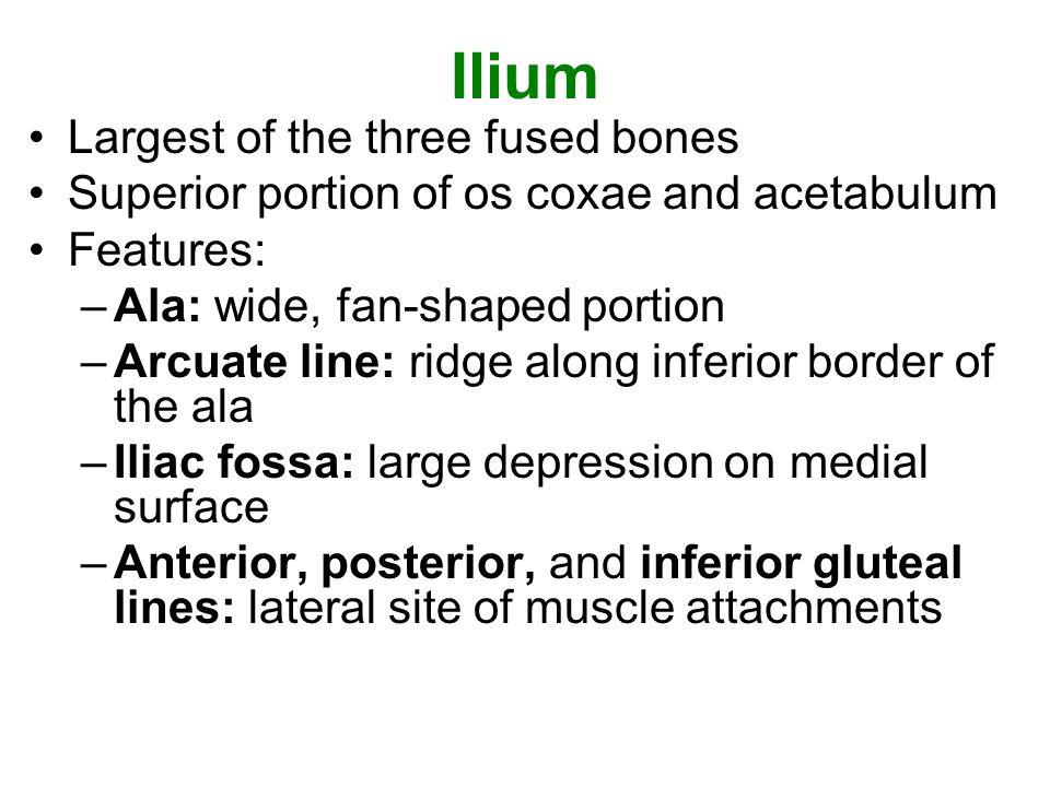 Ilium Largest of the three fused bones
