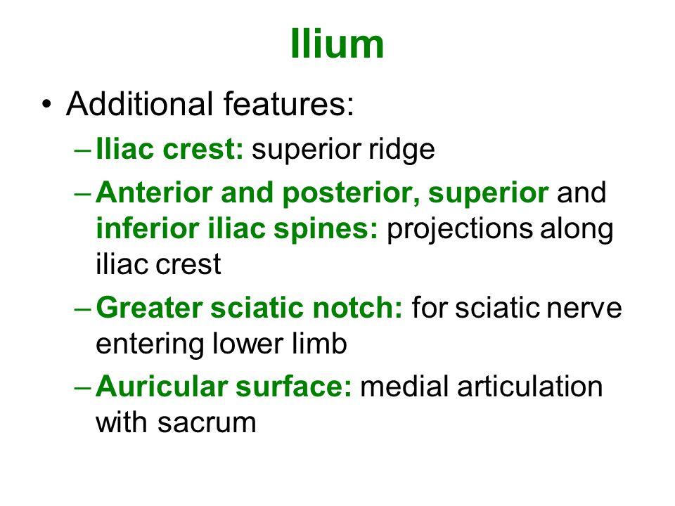Ilium Additional features: Iliac crest: superior ridge