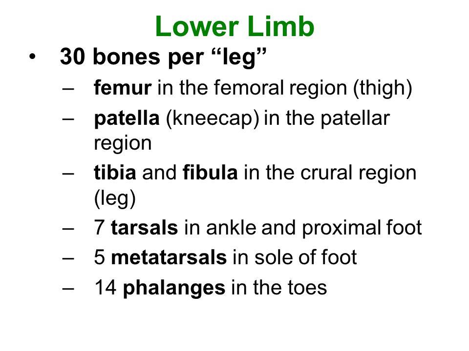 Lower Limb 30 bones per leg femur in the femoral region (thigh)