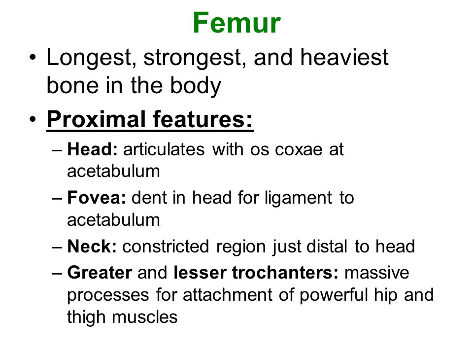 Femur Longest, strongest, and heaviest bone in the body