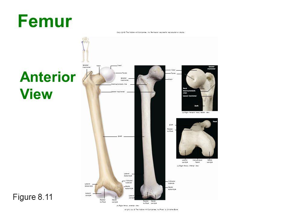 Femur Anterior View Figure 8.11