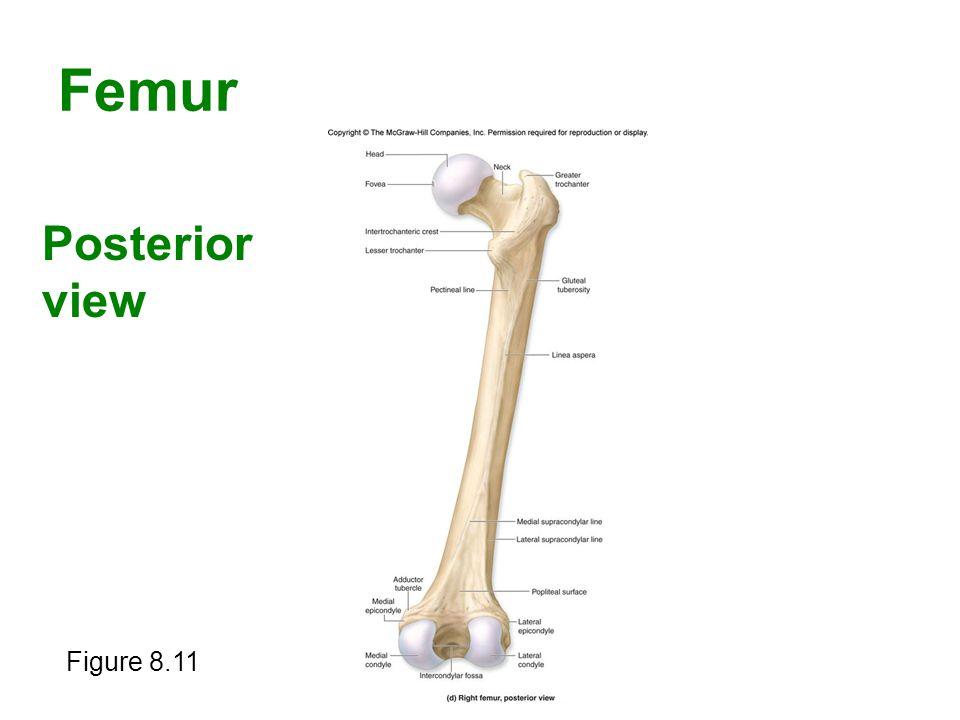 Femur Posterior view Figure 8.11