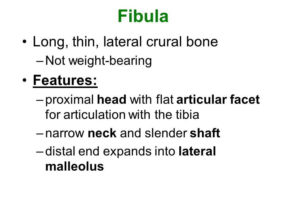 Fibula Long, thin, lateral crural bone Features: Not weight-bearing