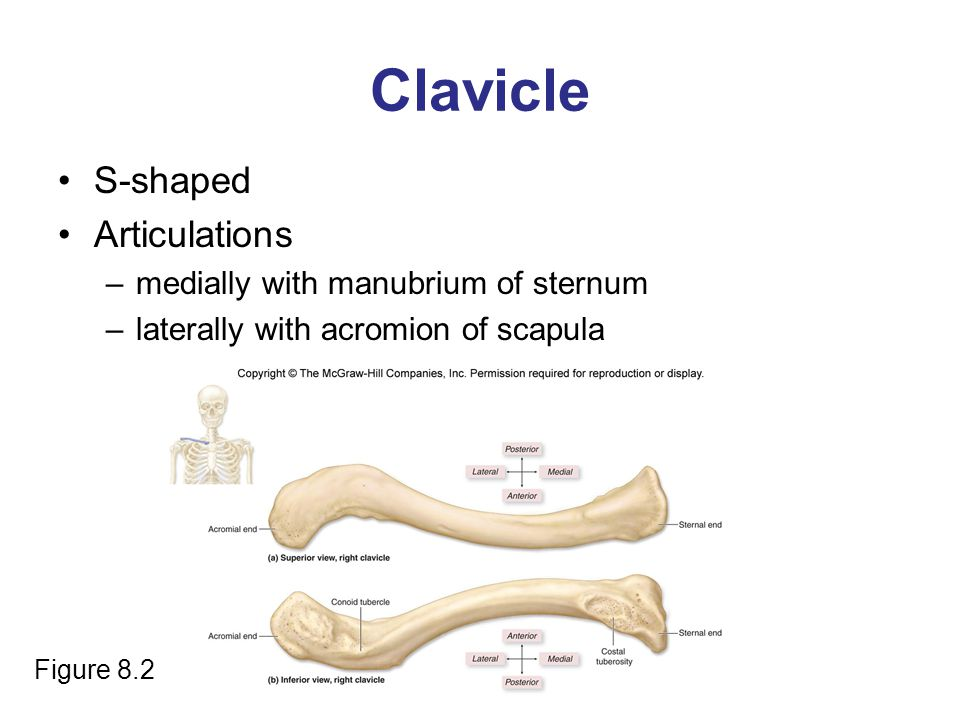 Clavicle S-shaped Articulations medially with manubrium of sternum
