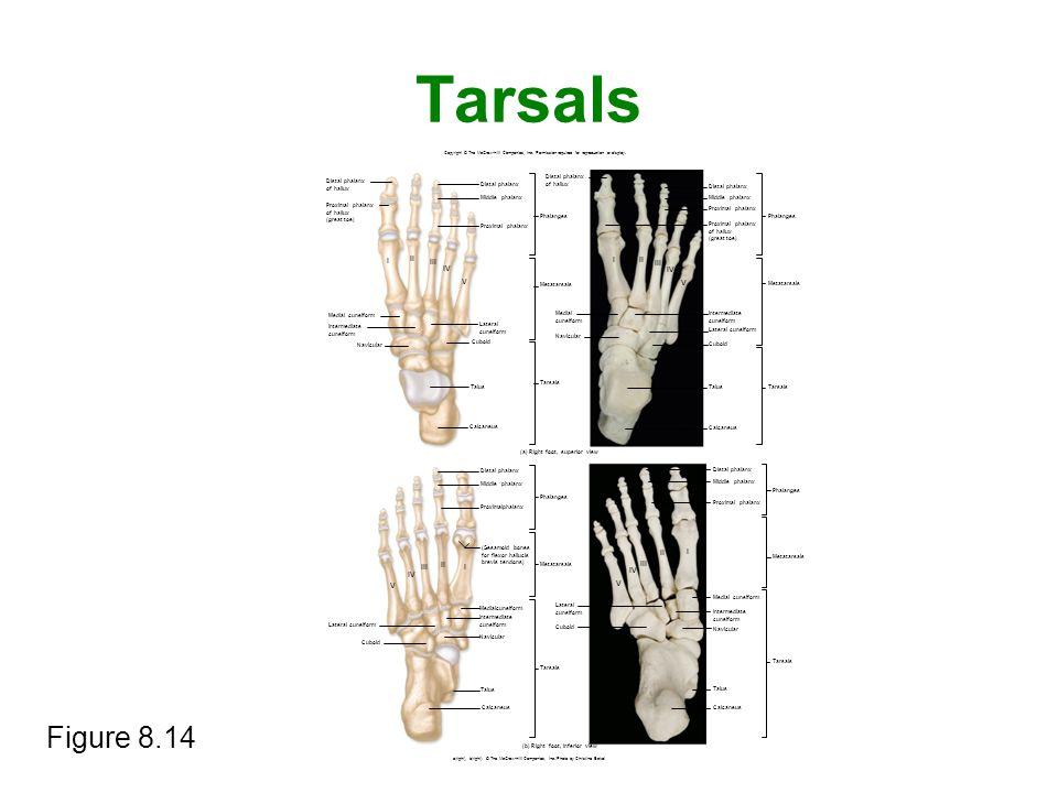 Tarsals Figure 8.14 I II III I II IV III IV V V II I III II I III IV