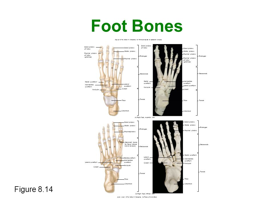 Foot Bones Figure 8.14 I II III I II IV III IV V V II I III II I III