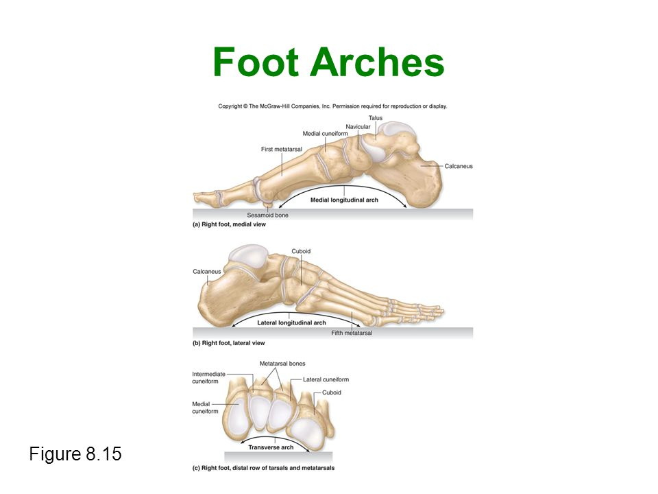 Foot Arches Figure 8.15