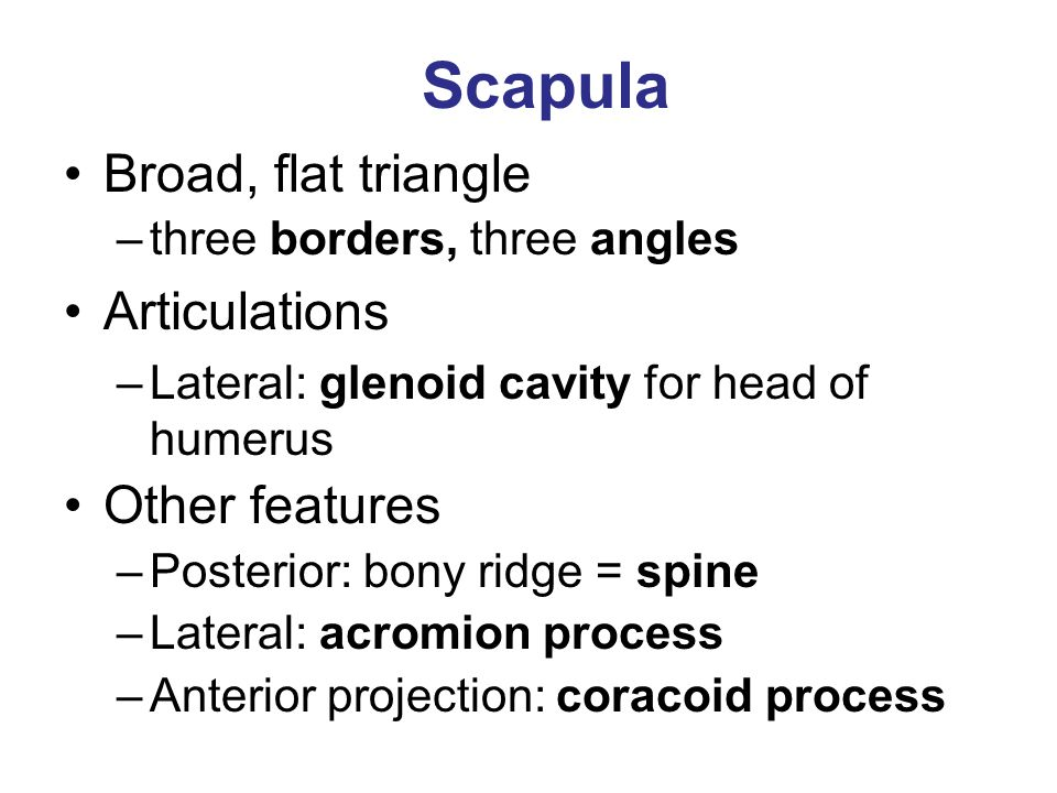 Scapula Broad, flat triangle Articulations Other features